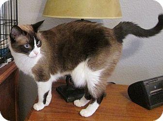 Snowshoe Cat for adoption in Gilbert, Arizona - Katie
