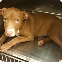 American Staffordshire Terrier Dog for adoption in West Palm Beach, Florida - Unes