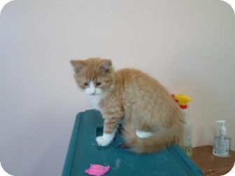 Domestic Longhair Kitten for adoption in Montello, Wisconsin - Liam