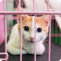 Adopt A Pet :: Blue - Los Angeles, CA