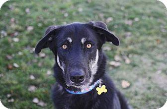 Anatolian Shepherd/Alaskan Malamute Mix Dog for adoption in Salt Lake City, Utah - Cienna