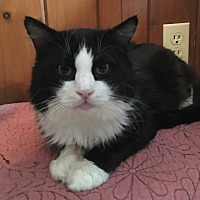Adopt A Pet :: Mr. Meowgi - Middletown, NY