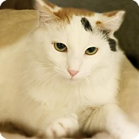 Domestic Shorthair Cat for adoption in Westwood, New Jersey - Farrah
