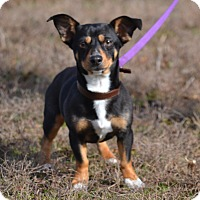 Adopt A Pet :: Susie - Lebanon, MO