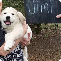 Adopt A Pet :: Jimi - Garland, TX