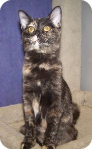 Domestic Shorthair Cat for adoption in Colorado Springs, Colorado - Gabby
