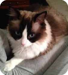 Ragdoll Cat for adoption in Ennis, Texas - Nala