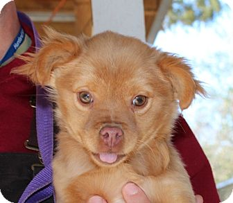 Pomeranian/Pekingese Mix Puppy for adoption in Washington, D.C. - Ruffles