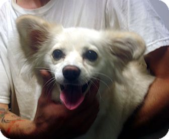 Papillon/American Eskimo Dog Mix Dog for adoption in baltimore, Maryland - Mona