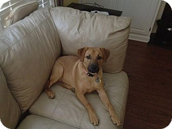 German Shepherd Dog/Labrador Retriever Mix Puppy for adoption in Alpharetta, Georgia - Riley