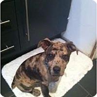 Adopt A Pet :: Brent - Richmond, VA