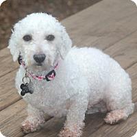 Adopt A Pet :: Phyllis - Norwalk, CT