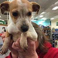 Terrier (Unknown Type, Medium) Mix Dog for adoption in Fresno, California - Blondie