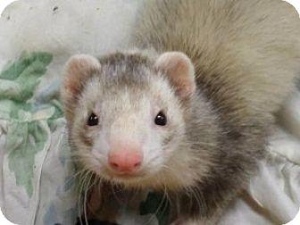 Ferret for adoption in Fawn Grove, Pennsylvania - Scrat