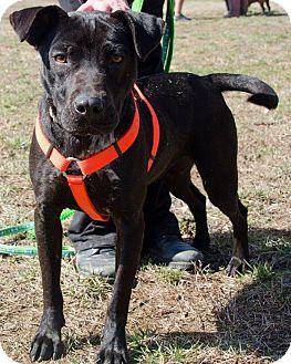 Labrador Retriever Mix Dog for adoption in Midlothian, Virginia - Nala