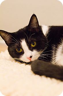 Domestic Shorthair Cat for adoption in Grayslake, Illinois - Norma Jean