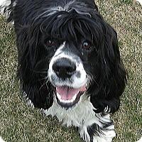 Adopt A Pet :: Bogey - Mississauga, ON