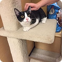 Domestic Shorthair Cat for adoption in Jackson, New Jersey - Martin