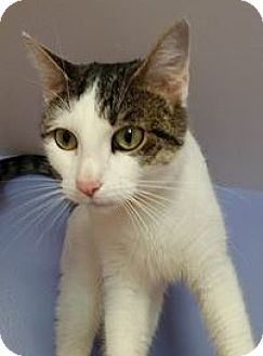 Domestic Shorthair Cat for adoption in Springfield, Vermont - Savannah (urgent)