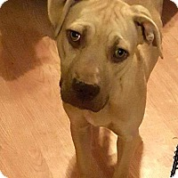 Adopt A Pet :: Arya - Olive Branch, MS