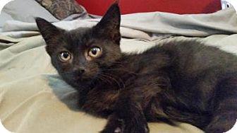 Domestic Shorthair Kitten for adoption in Breinigsville, Pennsylvania - Samie