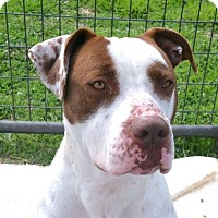 Pit Bull Terrier Mix Dog for adoption in Austin, Texas - Terrance