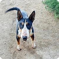 Bull Terrier Dog for adoption in Denver, Colorado - LaRue
