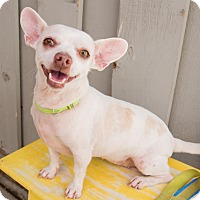 Adopt A Pet :: Rose - Sonoma, CA
