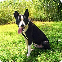 Border Collie Mix Dog for adoption in Andover, Connecticut - FRANKIE BLUE EYES
