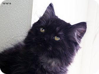 Domestic Mediumhair Kitten for adoption in Republic, Washington - Periwinkle