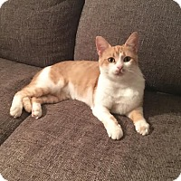 Domestic Shorthair Cat for adoption in Homewood, Alabama - Eevee