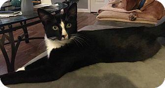 Domestic Shorthair Kitten for adoption in Jerseyville, Illinois - Oreo