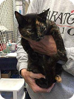 Domestic Shorthair Cat for adoption in Freeport, New York - Delia