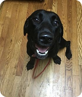 Labrador Retriever Mix Dog for adoption in Broomfield, Colorado - Sadie