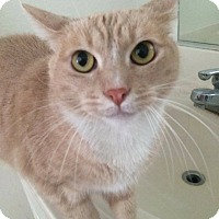 Domestic Shorthair Cat for adoption in Lancaster, California - Pete