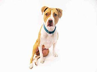 Pit Bull Terrier Dog for adoption in Hampton Bays, New York - DIAMOND