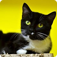 Domestic Shorthair Cat for adoption in Fort Smith, Arkansas - Fiesta