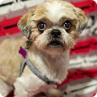 Adopt A Pet :: Gizmo - Canyon Country, CA
