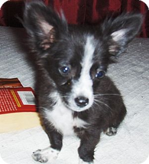 Chihuahua/Dachshund Mix Puppy for adoption in Glendale, Arizona - Patches