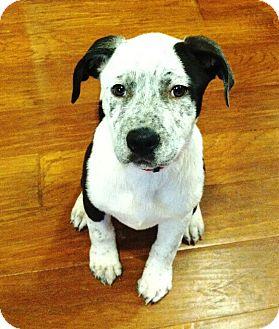 Blue Heeler/Labrador Retriever Mix Puppy for adoption in Torrance, California - DIAMOND