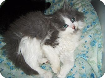 Norwegian Forest Cat Kitten for adoption in Pittstown, New Jersey - Sophia