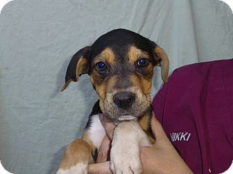 Beagle Mix Puppy for adoption in Oviedo, Florida - Finn