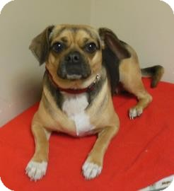 Pug/Beagle Mix Dog for adoption in Gary, Indiana - Daisy
