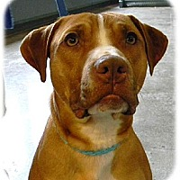 American Pit Bull Terrier/American Staffordshire Terrier Mix Dog for adoption in Shell Lake, Wisconsin - Avery