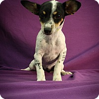 Adopt A Pet :: Theodora - Broomfield, CO
