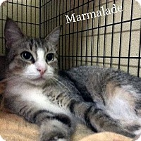 Adopt A Pet :: Marmalade - Orange City, FL