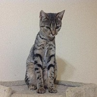 American Shorthair Cat for adoption in Olive Branch, Mississippi - Tammy (Mallett Foster)