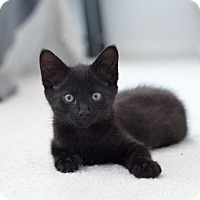 Adopt A Pet :: Talon - St. Louis, MO
