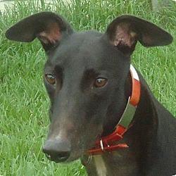 Photo 1 - Greyhound Dog for adoption in Longwood, Florida - Killer Link