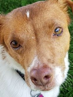Terrier (Unknown Type, Medium)/Jack Russell Terrier Mix Dog for adoption in Ventura, California - Jackson
